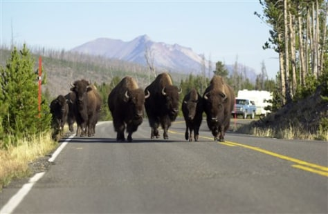 IMAGE: Yellowstone bison block road