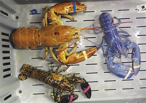 Image: Rare-colored lobsters