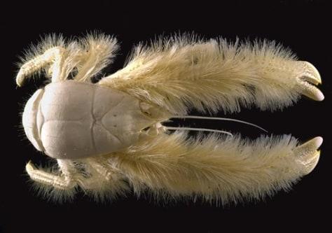 Image: New crustacean