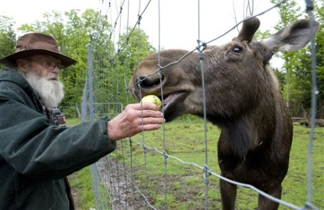 Image: David Lawrence feeds Pete the Moose