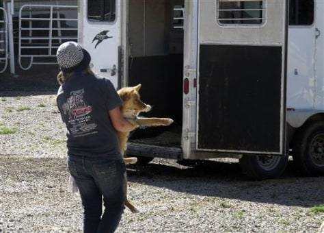 Image: Volunteer Angela Baxter carries a dog