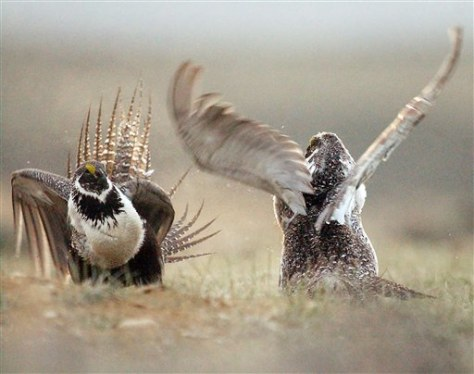 Image: Sage grouse