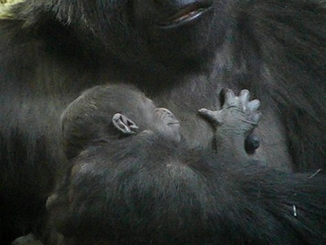 baby gorilla in mother's arms