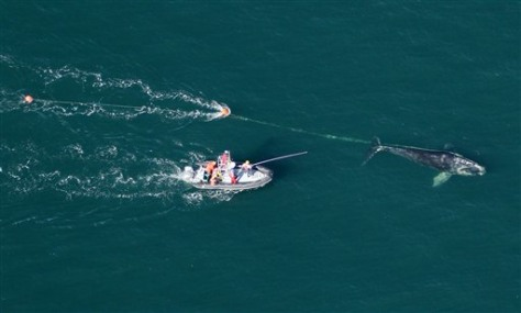 Image: Team works to free a right whale