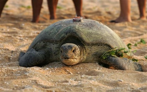 IMAGE: TURTLE WITH GPS TAG