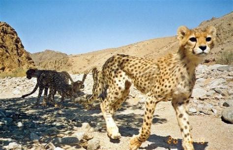 Iran cheetahs
