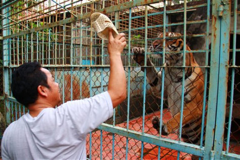 Image: Tiger in cage at farm