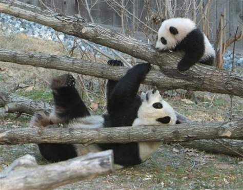 Panda cub plays on trees