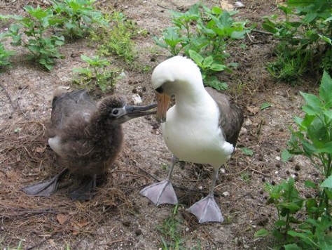 IMAGE: GOONEY CHICK WITH ADULT BIRD