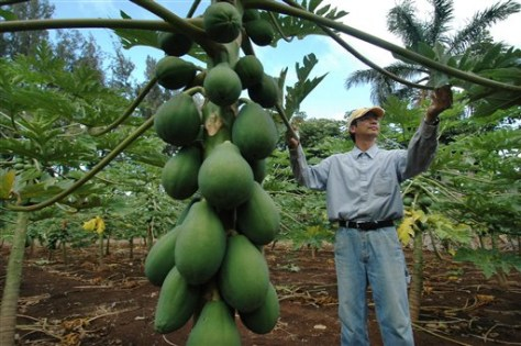Papaya farmer checks tree