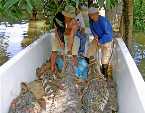 IMAGE: CROCODILES PLACED ON BOAT