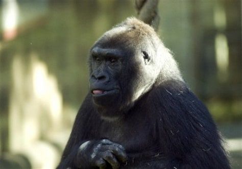 Image: Lulu the gorilla