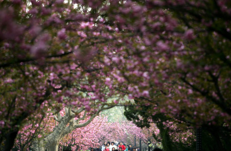 IMAGE: CHERRY BLOSSOMS