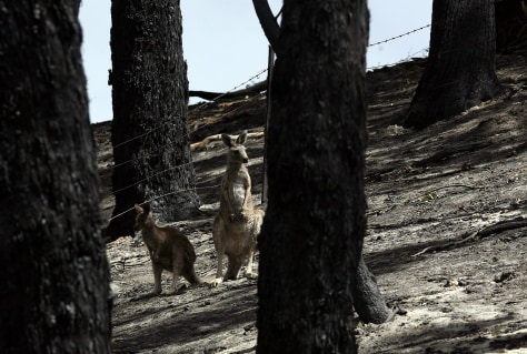 Image: Two kangaroos in burned out area