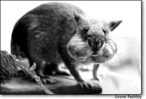 image: Gambian Rat