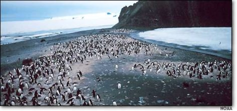 Image: Adelie penguins