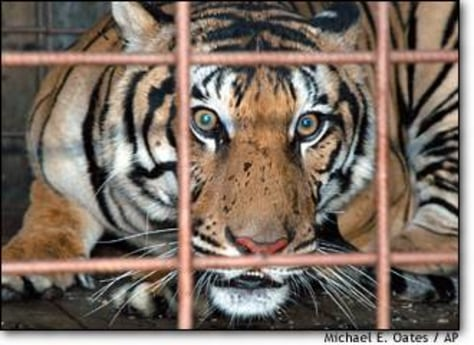 Image: Tiger Caught