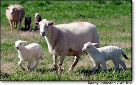 Image: Sheep and Lambs