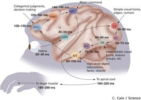 Image: Brain diagram