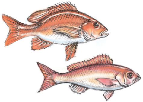 Vermillion vs. red snapper