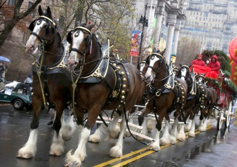 Image: Budweiser Clydesdales