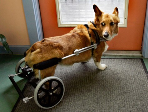 Image: Donay Queenan's 11-year-old auburn Welsh Corgi.
