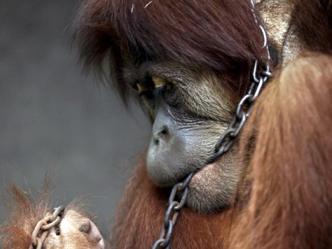 More orangutans held as pets, report finds - World news ...