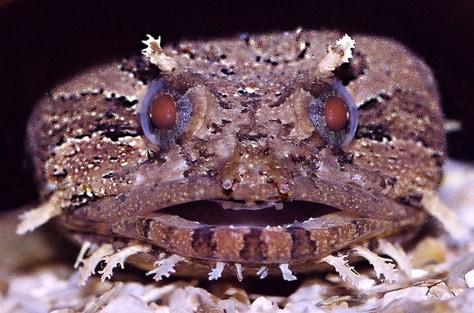 Image: A toadfish