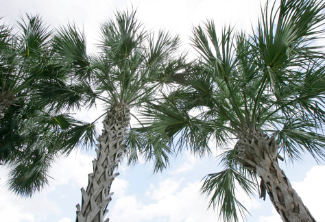 Image: Sabal palm tree