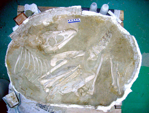 Image: A fossilized complete skeleton of a 70-million-year-old young dinosaur