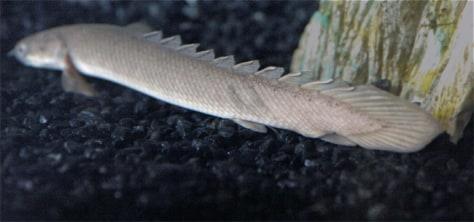 Image: Armor fish