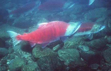 Image: Sockeye salmon