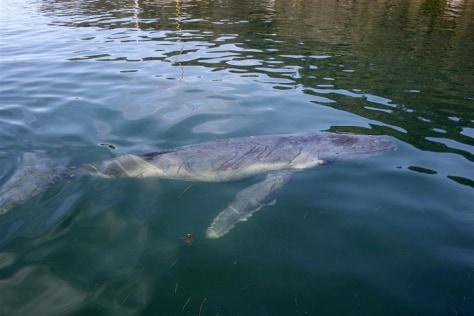 Image:Lost humpback whale calf