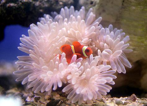 Image: Clownfish