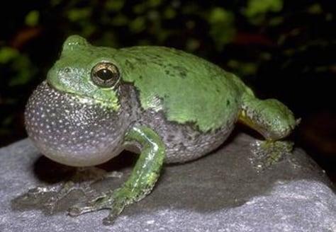 Image: Gray treefrog