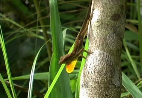 Image: Anolis sagrei lizard