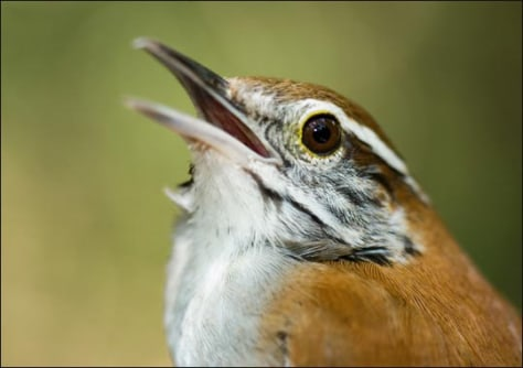Image: Rufous-and-white wren