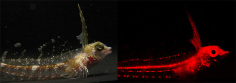 Image: The red fluorescence of the highcrest triplefin fish, or Enneapterygius pusillus, can be seen when looking through a red filter (right). The fish appears a dull grey color under natural light.