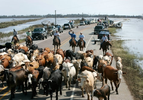 Image: Cowboys round up stranded cattle in Texas