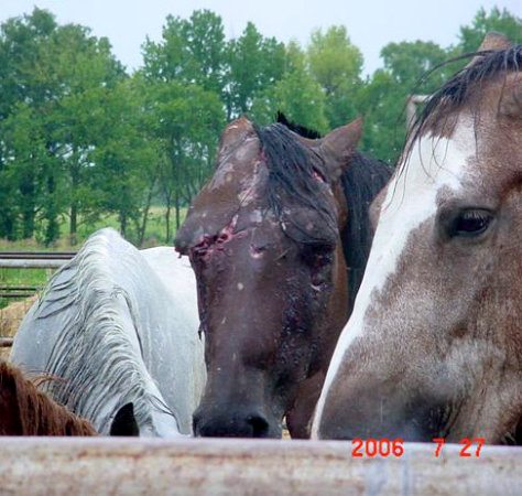 Horses being transported to slaughter at a now-defunct Texas plant.