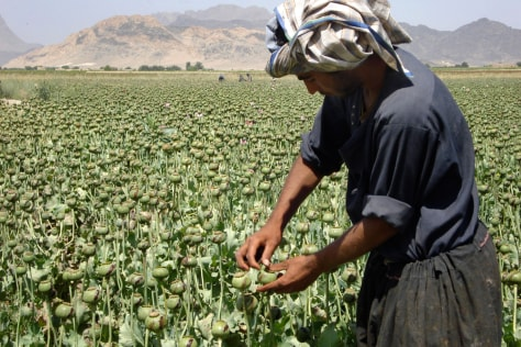 Image: An Afghan man collects resin from poppies in an opium poppy field