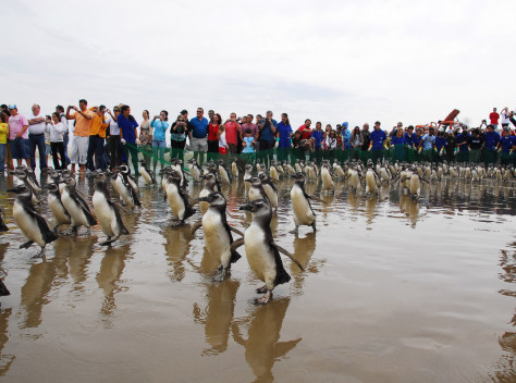 Image: Penguins head to water