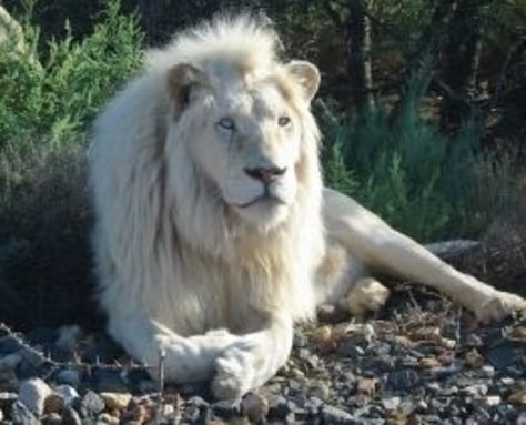 Image: White lion