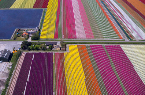 Image: Tulip fields in the Netherlands