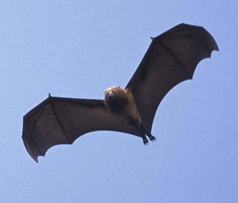 Image: Pemba flying fox