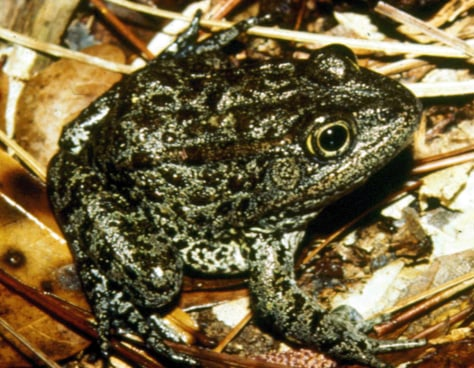 Image: Mississippi gopher frog