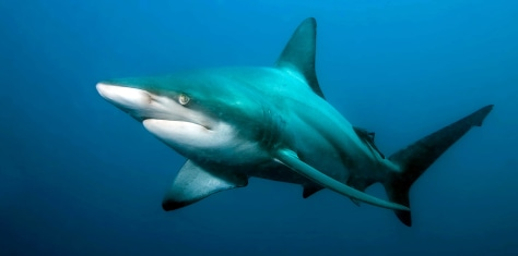 Image: A blacktip shark