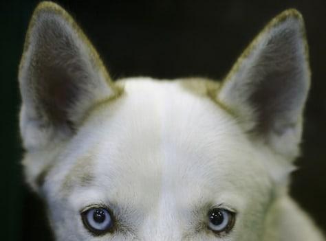 Image: Husky