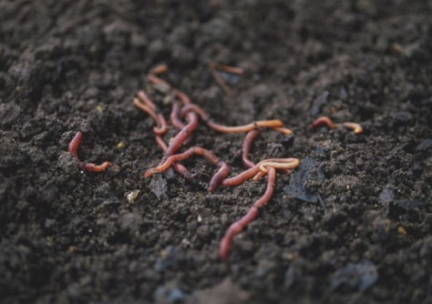 Image: Earth worms