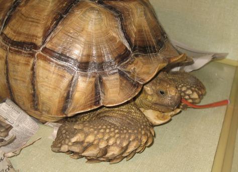 Image: Pet tortoise